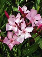 Extracto de oleander